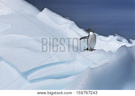 Ad�©lie Penguin (Pygoscelis adeliae) on glacier
