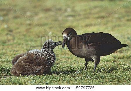 Black-Footed Albatross (Phoebastria nigripes) feeding nestling