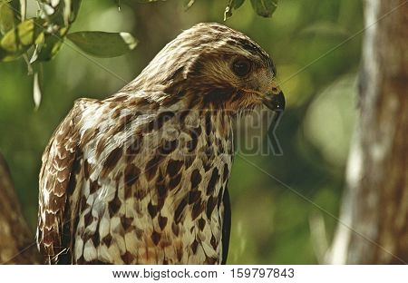 Close-up of Merlin (Falco columbarius)