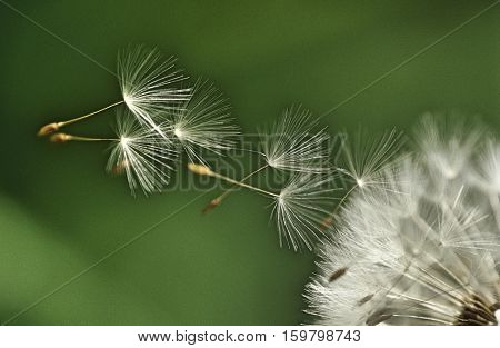 Dandelion seeds flying, extreme close up