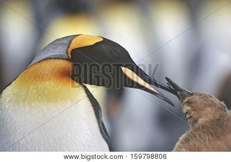UK, South Georgia Island, King Penguin feeding chick, close up