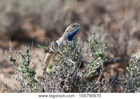 Steppe agama male (Trapelus sanguinolentus) resting on glasswort bush in Kyzyl-Kum desert Uzbekistan