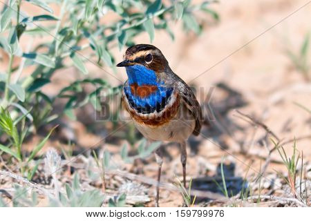 Migratory male of Bluethroat (Luscinia svecica) in Kyzyl-Kum desert Uzbekistan