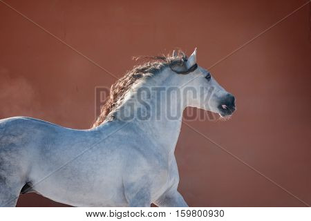 The white andalusian horse near red wall