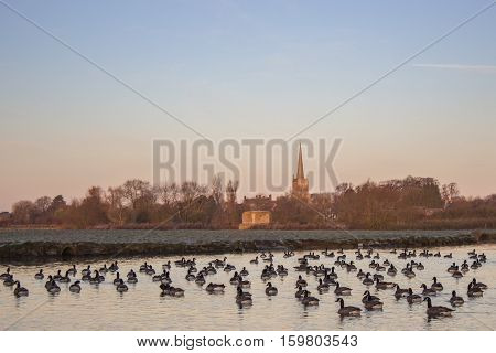 Canada Geese (Branta Canadensis) on River Thames at Lechlade England United Kingdom