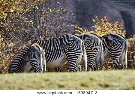 A view of wildlife Zebras watering in groups in the wildlife. Dec 2016