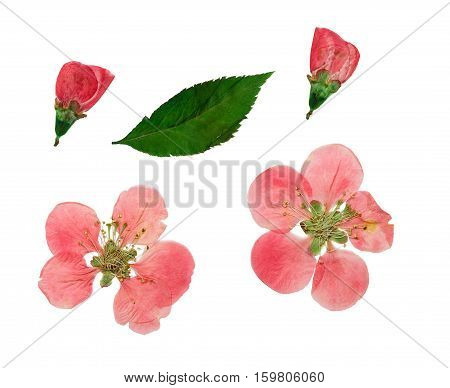 Pressed and dried leaves two flowers of quince (japonica chaenomles). Isolated on white background. For use in scrapbooking pressed floristry (oshibana) or herbarium.