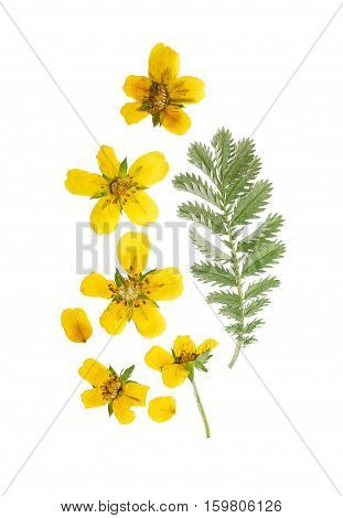 Pressed and dried flower and green carved leaves potentilla anserina isolated on white background.For use in scrapbooking floristry (oshibana) or herbarium.