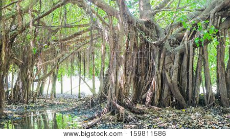 Very big banyan tree in the jungle.Tree of Life Amazing Banyan Tree