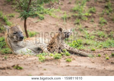 Resting Spotted Hyena In The Kruger National Park, South Africa.
