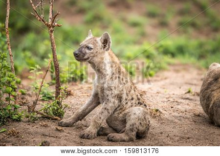 Starring Baby Spotted Hyena In The Kruger National Park, South Africa.