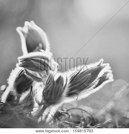 Beautiful purple little furry pasque flower. (Pulsatilla grandis) Pulsatilla patens. Pasqueflowers. Blooming on spring meadow. Black and white photo.