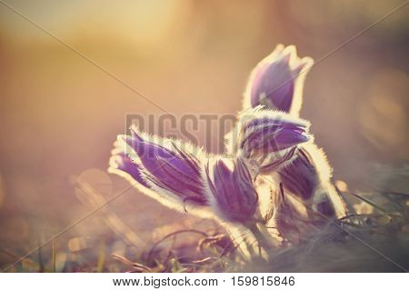 Beautiful Purple Little Furry Pasque Flower. (pulsatilla Grandis) Pulsatilla Patens. Pasqueflowers.