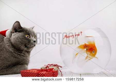 Grey British Shorthair Cat Sits Before Aquarium With Card 'merry Me?' On It