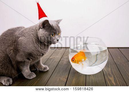 Scarred Grey British Shorthair Cat Stands Before Aquarium With Golden Fish