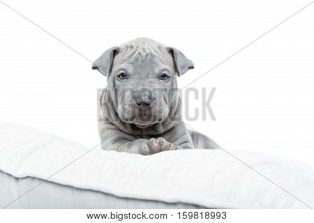 One month old thai ridgeback puppy dog lying on pillow. Isolated on white. Copy space.