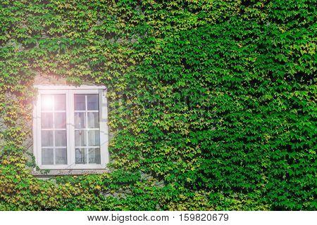 Ivy Creeper Surrounding Window