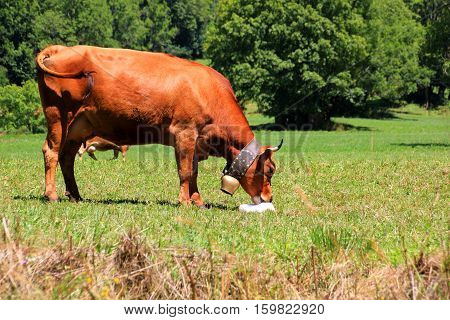Brown cow with a bell is licking on a salt block