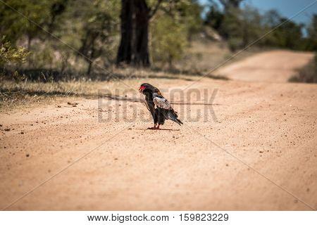 Bateleur Eating In The Kruger National Park, South Africa.