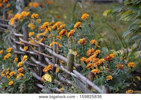 Horizontal photo of Marigolds flowers with wooden fence