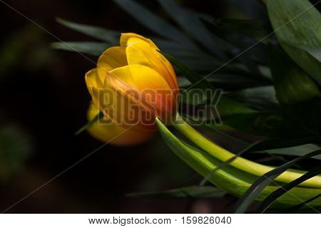 Close-up of multicolor tulip flower in the spring garden. Photography of nature.