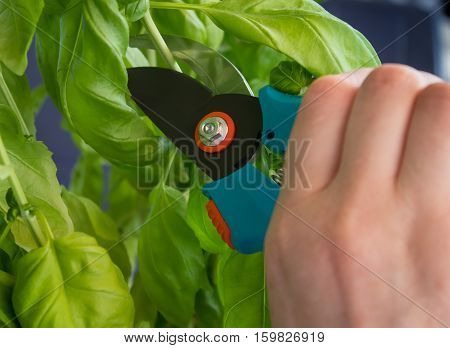 woman hand with secateurs cutting green plants