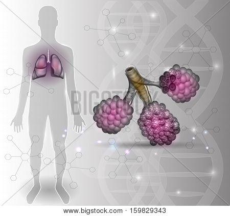 Alveoli Anatomy, Respiration