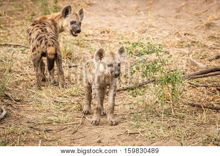Playful Spotted Hyena In The Kruger National Park, South Africa.