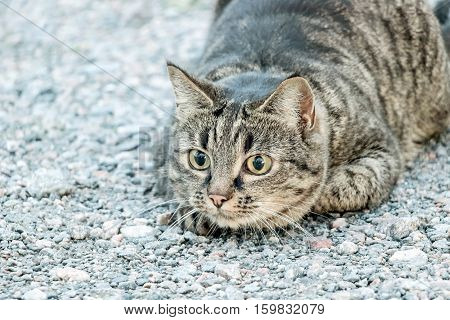 a hunting brown cat on grey stone ground