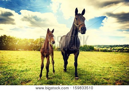 Summer country landscape with horse and foal. Agricultural concept