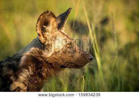 African Wild Dog In The Kruger National Park, South Africa.