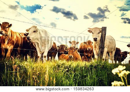 Herd of young calves looking at camera on summer green field. Agricultural background