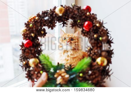 Cute ginger cat looks through handmade Christmas wreath made of pinecones and decorations. Fluffy pet helps to decorate home to New Year.