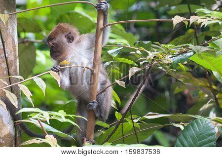 Singapore: wild monkey resting on tree top