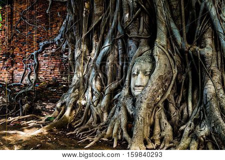 A budda's head traped in a tree's roots