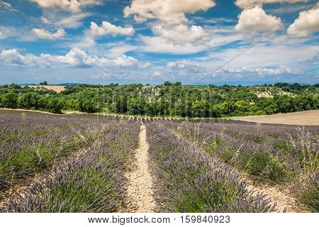 Lavender flower blooming scented fields in endless rows. Valensole plateau provence france europe.