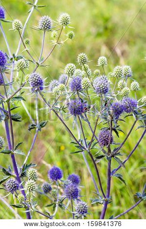 Eryngium flat (lat. Eryngium planum). Wild medicinal plants of Siberia