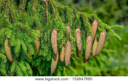 Christmas Tree - Norway spruce (Picea abies)