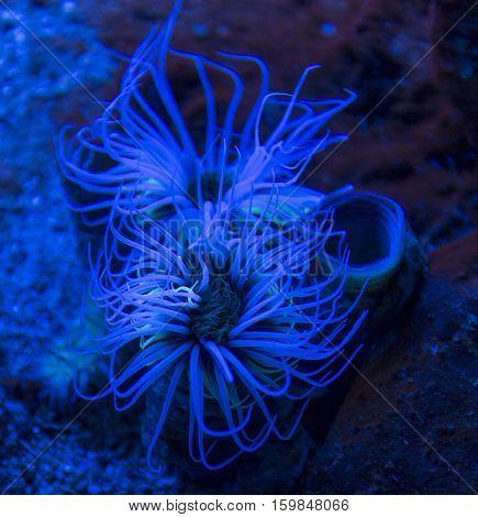 Cylinder Anemone (cerianthus Membranaceus)