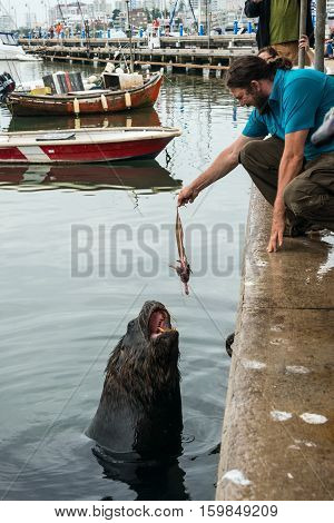 Tourist feeding fur seal fisheries waste in Punta del Este harbor Uruguay