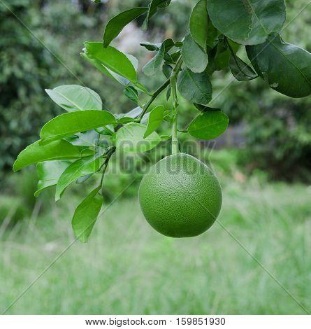 Fresh green pomelo fruit on the tree