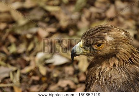 Profile of a American Golden Eagle in Florida
