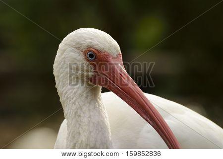 Profile of a White Ibis in Florida