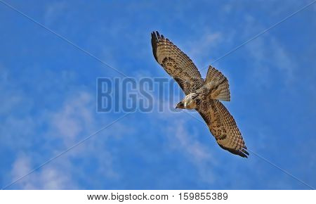 A red-tail hawk in flight with plumage beginning its seasonal change to a white breast