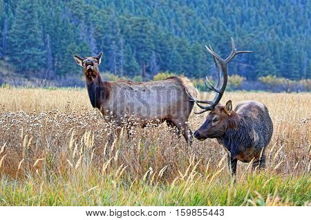Male and female elk in Rocky Mountain National Park, Colorado, during the annual elk rut.