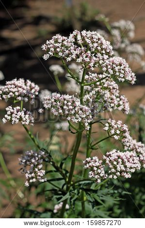 Valerian (Valeriana officinalis) plant. Valerian has been used as a medicinal herb since at least the time of ancient Greece and Rome.