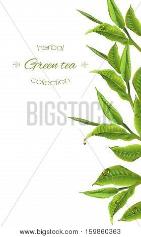 Vector green tea banner with tea leaves and drops on white. Background design for packaging, tea shop, drink menu, homeopathy and health care products.