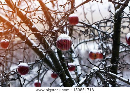 red apples under the snow. Apples on a Tree Under Fresh Snow. Red apples on an apple-tree covered with snow