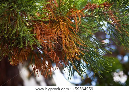Multi-colored needles sequoia tree. The color green, helty, brown.