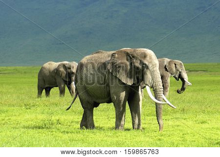 elephant in Ngorongoro Conservation Area, a protected area and a World Heritage Site located 180 km west of Arusha in the Crater Highlands area of Tanzania